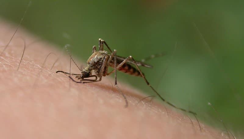 Mosquitoes While On Vacation In Chiang Mai