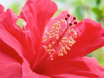 Red flower scent for perfume.